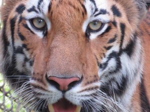 Eyes of a Tiger, Arendra37.